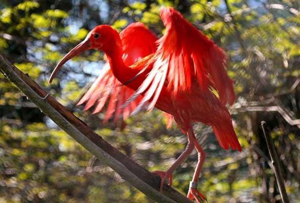crveni ibis