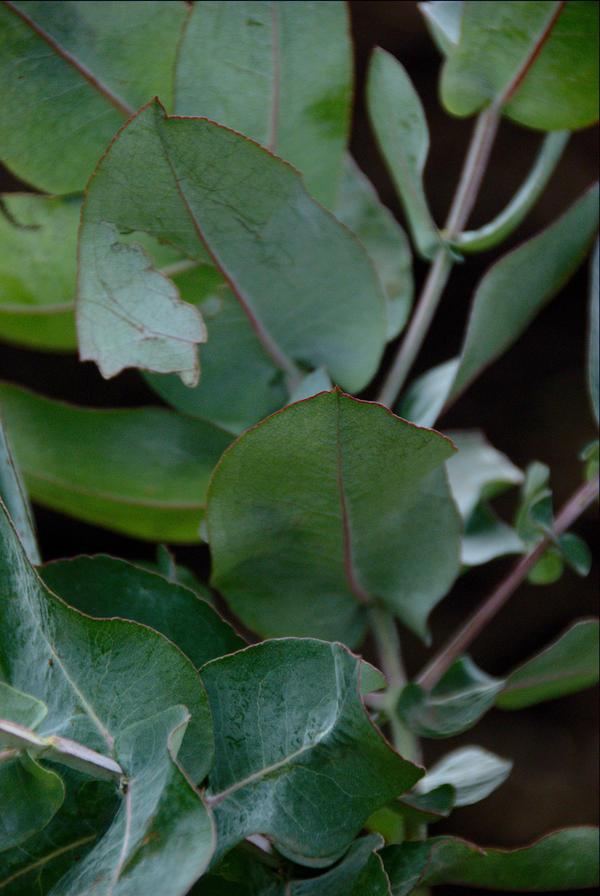 eucaliptus listovi