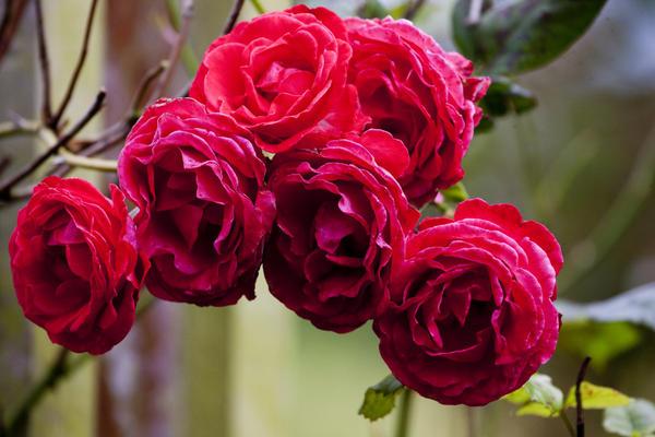 park-rose-gardens