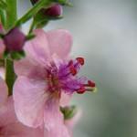 tiny-verbascum-thapsus-common-moth-mullein-verbascum_l