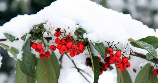 biljka-snijeg