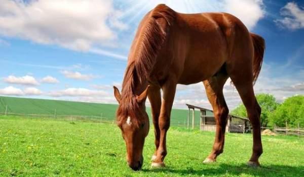 konj_