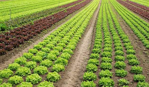 uzgoj salate