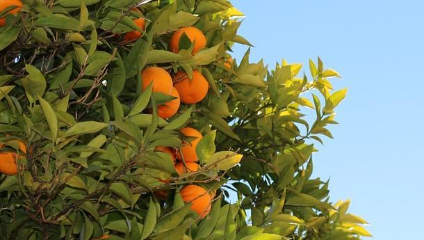 mandarina-neretva-21