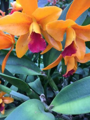 orhideja-9