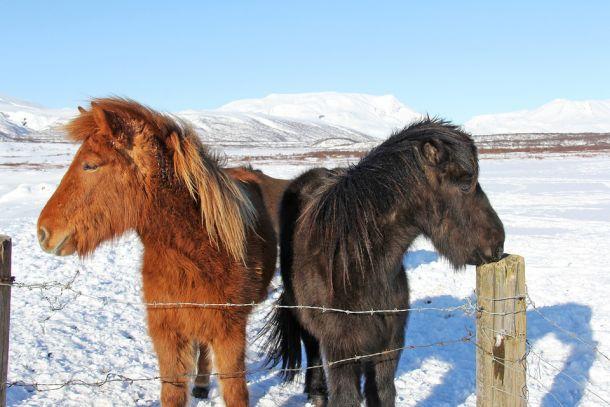 islandski-konji