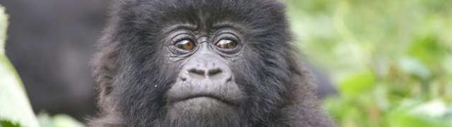 Ruanda zemlja tisuće brežuljaka i zapanjujućih planinskih gorila