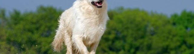 Postanite šaptač psima- zašto psi laju i što vam poručuju