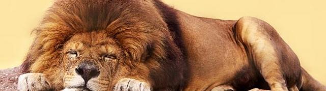 Lavovi – kraljevi divljina