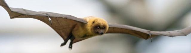 Šišmiši jedne od najplahijih životinja svijeta
