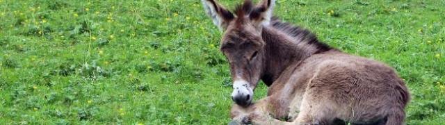 Ljekovito magareće mlijeko
