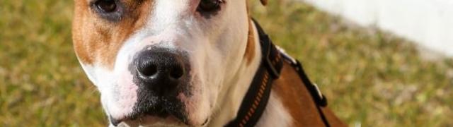 Nove odredbe za držanje opasnih pasmina u Beču