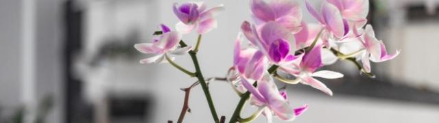 Što morate znati kada kupujete orhideje