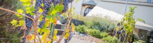 Berba grožđa u vrtu kultne terase Oleander