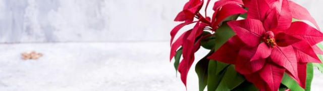 Kako njegovati božićnu zvijezdu