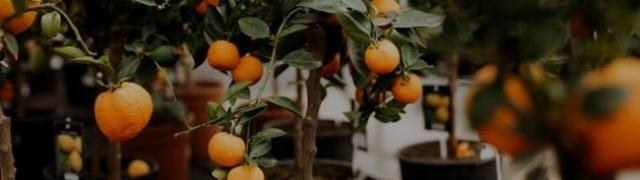 Mandarina u lončanici: zasadite agrum prepun zdravlja