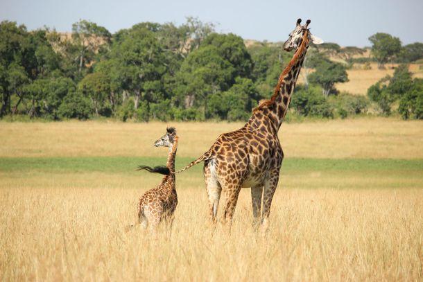 Masai Mara Game Reserve Kenija