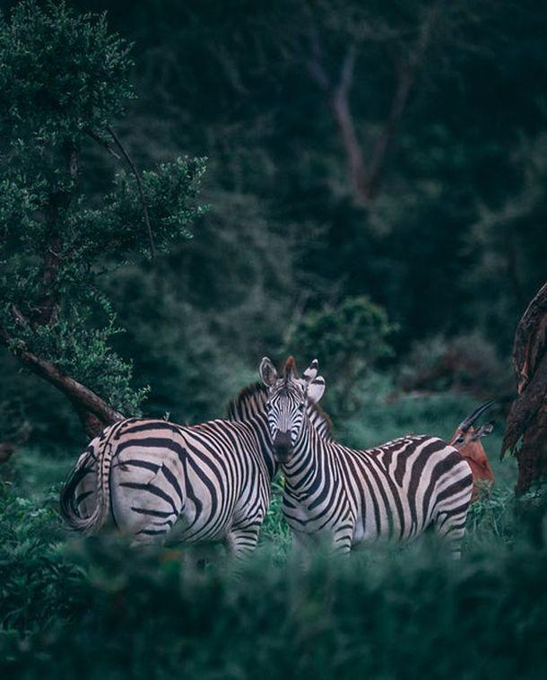 zebre bocvana