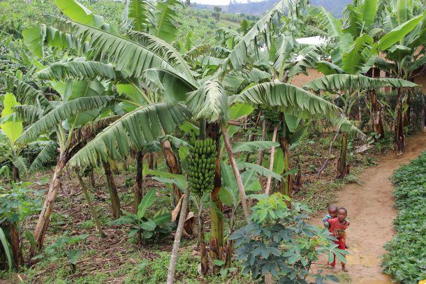 Banane ruanda