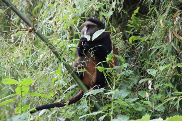Ruanda zlatni majmun