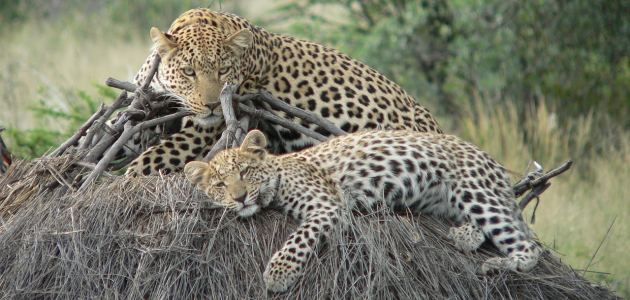 gana-leopard