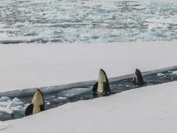 kitovi antarktik antarktica