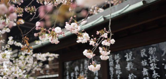 tresnjin cvijet japan