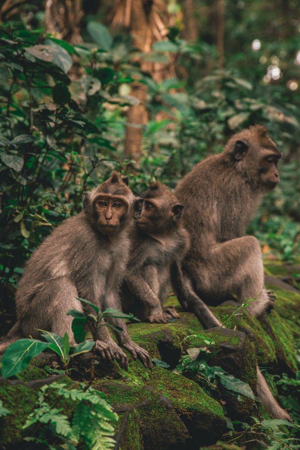 majmuni bali