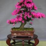 azalea-bonsai_l