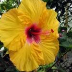 giant-yellow-hibiscus_l