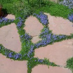 turkish-veronica-blooming-in-flagstone-patio_l