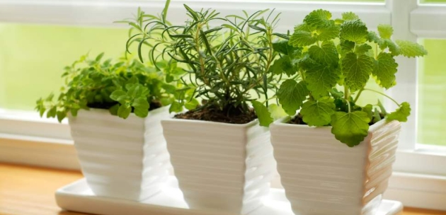 zacinsko bilje uzgajanje zacina