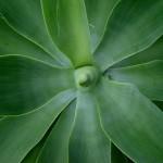 agave (1)