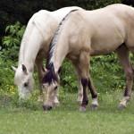 konji jedu