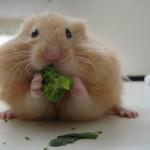 hamster_1