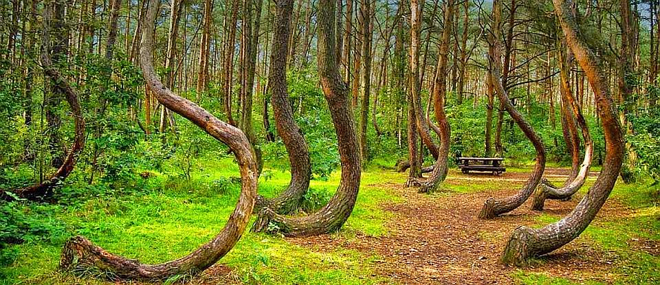 The Crooked Forest - Poland 10