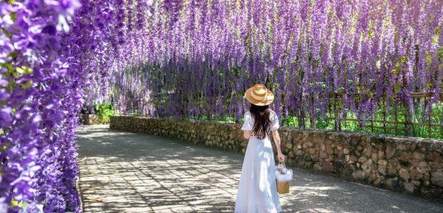 Cvjetni raj Wisteria tunel od glicinija u prekrasnom Japanu