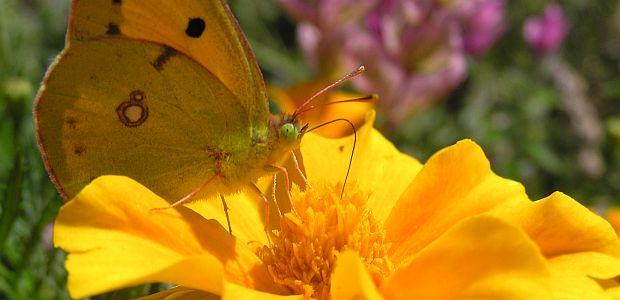Privucite leptire u svoj vrt ili balkon
