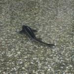 riba-u-ribnjaku