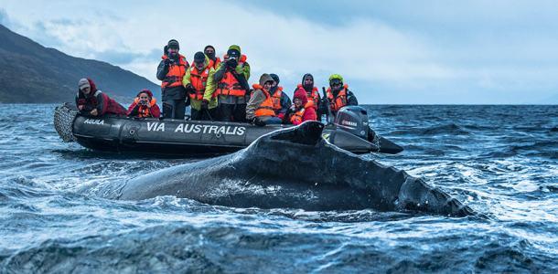 australis-fleet-zodiac-ballena