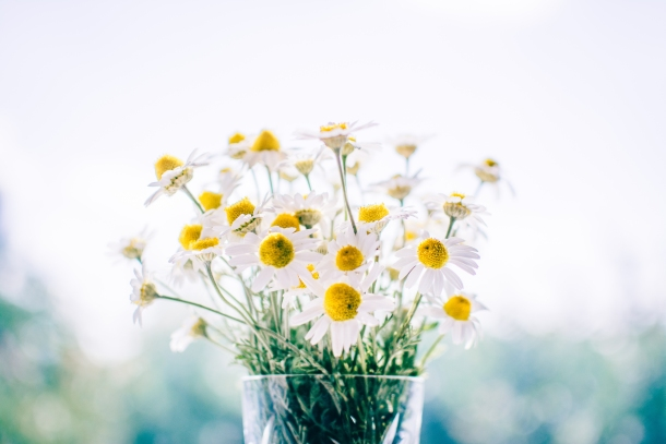 kamilica cvijeće