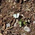 Paklenica leptir