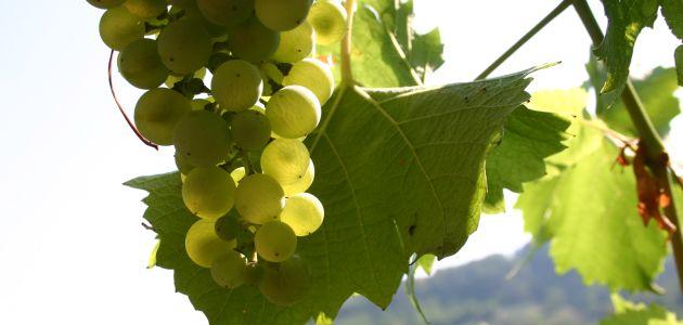 Upoznajte vinske ceste Slavonije
