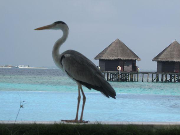 maldivi-caplja