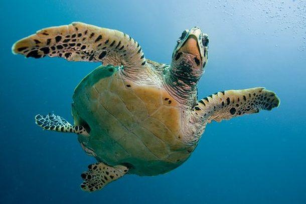 maldivi kornjača