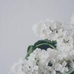 mirisno cvijeće jorgovan