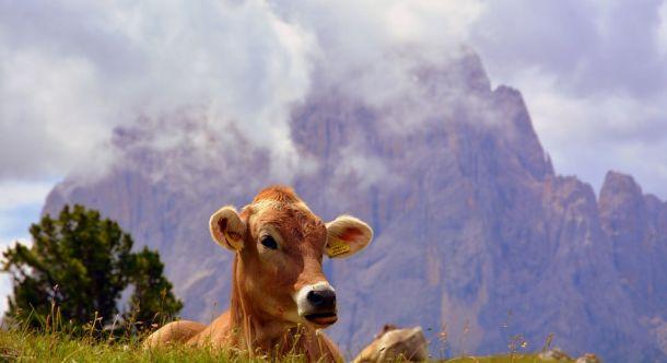 krava austrija alpe