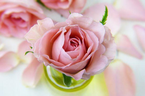 ruža cvijeće2