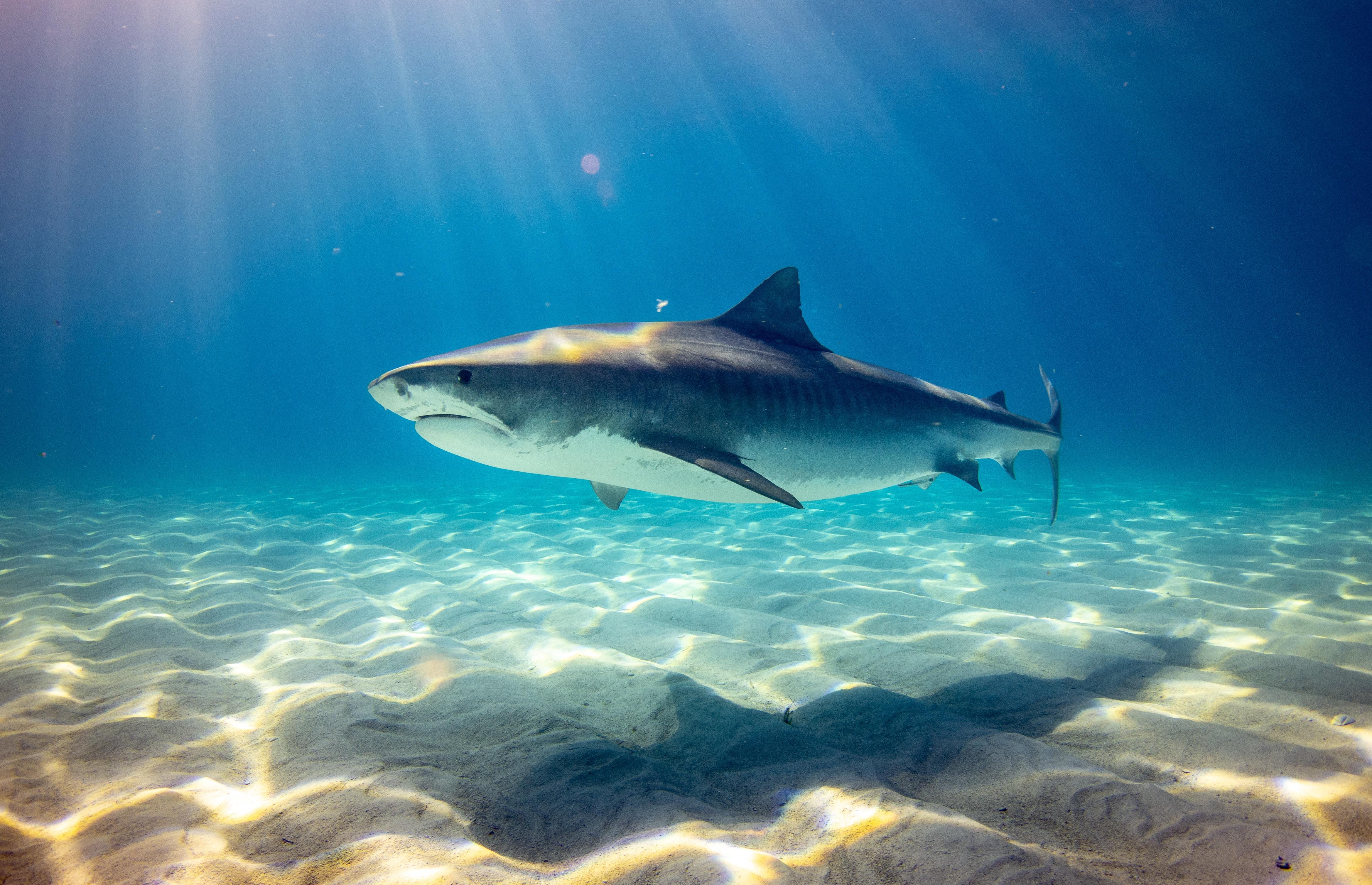 morski pas bahami