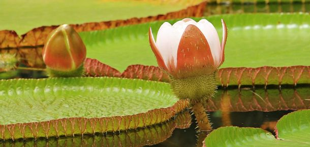 amazona biljke